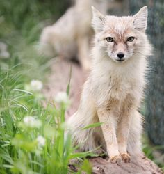 Graceful Corsac Fox by Jan M.