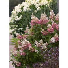 Proven Winners Pinky Winky Hardy Hydrangea (Paniculata) Live Shrub, White and Pink Flowers, 4.5 in. Qt. HYDPRC1047800 at The Home Depot - Mobile