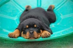 You know all these pictures of rotties is making me really want one! I'm highly…