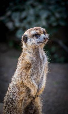 African meerkat portrait by Craig Chaddock