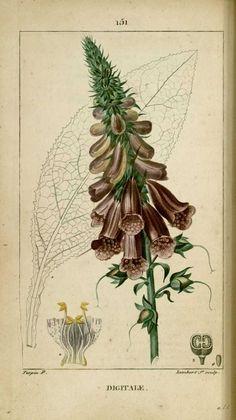 img/dessins-gravures de plantes medicinales/digitale, digitale pourpree.jpg