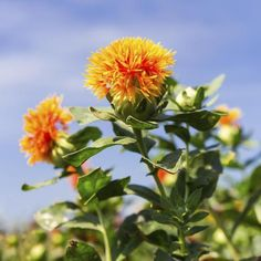 Bullet Journal Notebook, Orange Flowers, Planting Flowers, Succulents, Nature, Image, Gardens, Tea, Plants