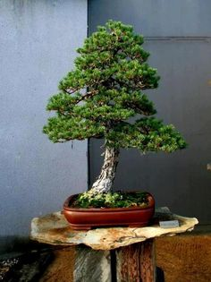 Bonsai Pine Bonsai, Bonsai Plants, Bonsai Garden, Garden Trees, Bonsai Trees, Japanese Bonsai Tree, Japanese Garden Plants, Single Tree, Cactus