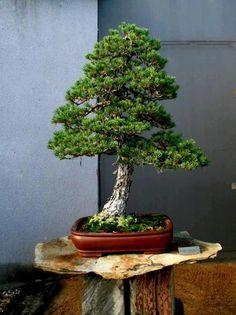 Bonsai Pine Bonsai, Bonsai Plants, Bonsai Garden, Garden Trees, Garden Plants, Bonsai Trees, Japanese Bonsai Tree, Bonsai Tree Types, Cactus