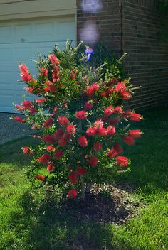 bottle bush shrub - This reminds me of San Diego and Gramma Olga. Garden Yard Ideas, Garden Trees, Garden Pots, Garden Oasis, Types Of Shrubs, Bushes And Shrubs, Tropical Garden, Tropical Paradise, Privacy Plants