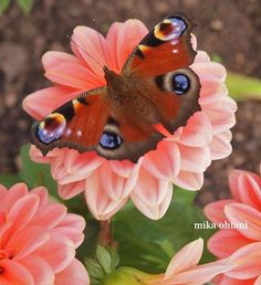 Butterfly  Photo by Mika Ohtani