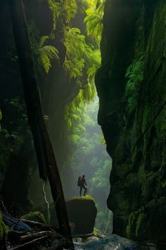 Cascades of mammoth ferns flourish in the humid air trapped between the narrow walls of Claustral Canyon. (Photograph by Carsten Peter)