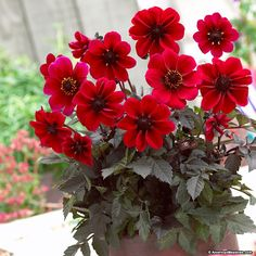 From the Dark Angel Series®, Dracula is a compact Dahlia. It's red blooms are offset wonderfully against its dark foliage. Dracula is a perfect Dahlia for a container or small-space garden. This daisy-type Dahlia is great for cut flowers and starts blooming in mid-summer when planted in late spring.  Dracula also attracts butterflies and hummingbirds to your garden.