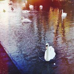 england + swan lake