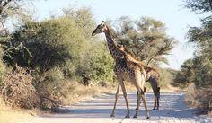 10 TIPS ΓΙΑ ΣΑΦΑΡΙ ΣΤΗΝ ΑΦΡΙΚΗ African Safari, Giraffe, Animals, Animales, Felt Giraffe, Animaux, Animal, Giraffes, Animais