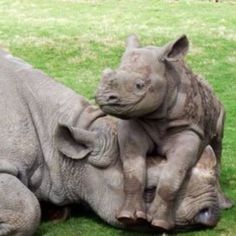 Cute Baby Rhino On It's Parents Face