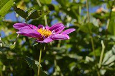 Garden, Cosmos, Blossom, Bloom, Flower, Cosmea #garden, #cosmos, #blossom, #bloom, #flower, #cosmea