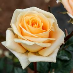 Cappuccino (TANoniccu) has soft caramel coloured blooms that have a classic shape.  Highly fragrant.  Hybrid Tea roses provide a colourful display from late spring to late autumn.  Upright bushes producing classicly shaped blooms on long stems, ideal to grow as cutflowers.  They are hardy, vigorous, long (repeat) f...