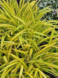 "Carex siderosticha Banana Boat  Height: Short 6-12"" (Plant 12-15"" apart) Mostly Sunny to Full Shade   Zones: 5-9"