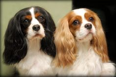 The Cavalier King Charles Spaniel is a direct descendant of the King Charles Spaniel and is named after King Charles II. The earliest appearance of