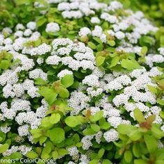 Shop for Glow Girl Spireas online and ship it directly to your door from the nursery. Shop our large selection of Spirea shrubs and you're sure to find the perfect fit for your space. Plants Addicts is here to help you complete your never ending garden! Flowering Shrubs, Trees And Shrubs, Spirea Shrub, Plant Order, Foundation Planting, Border Plants, Thing 1, Hardy Plants, Gardens