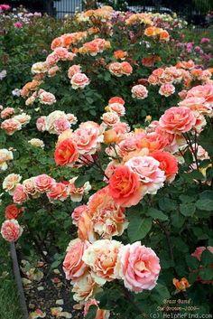 'Brass Band ' Rose Photo