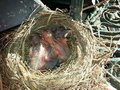 Birth of baby chicks