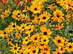 7 Indestructible Garden Plants - I Dare You: Black-eyed Susan (Rudbeckia)
