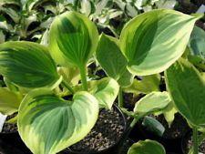 Hosta Majesty  garden plants