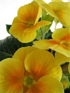 Primrose - light shade perennials - hardy and adaptable (which means even I could keep them alive!)