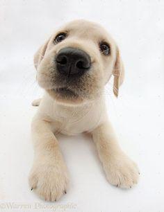Yellow Labrador Retriever | WP34841 Yellow Labrador Retriever puppy, 8 weeks old, lying with head ... #LabradorRetriever