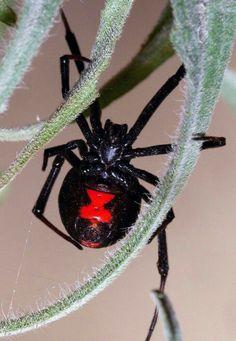 ᄽ⚫️ᄿWelcome to my Parlourᄽ⚫️ᄿ Viuda Negra: Black Widow Spider. Beautiful Bugs, Beautiful Butterflies, Eight Legged Freaks, Reptiles, Spider Mites, Spider Webs, Tardigrade, Black Widow Spider, Dangerous Animals