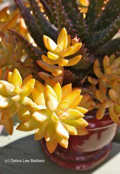 Sedum nussbaumerianum with Aloe