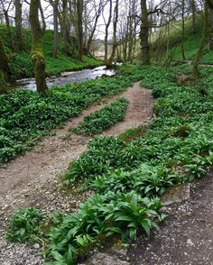 Carpets of #wildgarlic at Janet's Foss  Gordale near Malham #northyorkshire #walks #nationaltrust #england