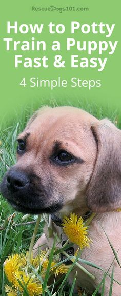 Potty training a puppy can be frustrating unless you follow my 4 simple steps to potty training any puppy fast. #puppy #puppies #dogs #rescuedogs101 Puppy Potty Training Tips, Training Your Dog, Agility Training, Training Collar, Dog Agility, Pocket Beagle, Dog Minding, Dog Potty, Easiest Dogs To Train