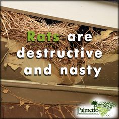 The Centers for Disease Control has established that rats are the main culprit behind the development and transmission of the Hantavirus Pulmonary Syndrome Rat Trap Diy, Rat Droppings, Rat Traps, Rodents, Rats, South Carolina, Wildlife