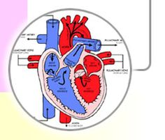 Heart Anatomy Coloring Pages And Info