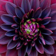 Black Dahlia, Black Flowers, Exotic Flowers, Pretty Flowers, Dahlia Flowers, Purple Dahlia, Dahlia Flower Tattoos, Beautiful Flowers Photos, Deep Purple