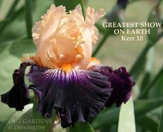 Photo of Tall Bearded Iris (Iris 'Greatest Show on Earth') uploaded by Calif_Sue