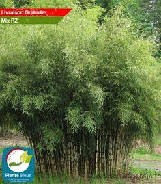 L'éventail de couleurs saisonnières a déjà valu à Fargesia Robusta Campbell une excellente réputation. Il possède les plus petites feuilles de la famille des robusta.
