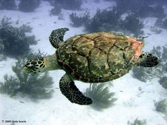 I LOVE Sea Turtles!  How fun to be able to swim with them!!  The Belize Coral Watch - The Second Largest Barrier Reef in the world