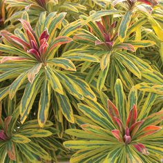 Noted for its unique variegated flowers and foliage, Euphorbia x martinii 'Ascot Rainbow' (Martin's Spurge) is a bushy, dwarf evergreen sub-shrub of great ornamental interest. It forms a mound of stunning rosettes of lance-shaped gray-green leaves ado Planting Shrubs, Garden Shrubs, Garden Plants, Landscaping Plants, Balcony Garden, Begonia, Ascot, Biennial Plants, Gardens