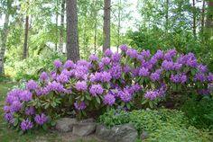 Lukijoiden puutarhat: Upea alppiruusu – Kotiliesi