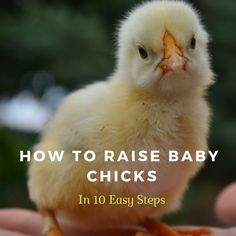 Learn more about raising baby chicks- 10 steps you need to know Day Old Chicks, Baby Chicks, First Aid Tips, Diy Herb Garden, Garden Ideas, Farm Projects, Raised Garden Beds, Raised Bed, Gardening Tips
