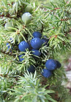 HERBAL MEDICINAL: Juniper.  Know Your Herbs and Spices:  Juniper Berries + Bidens for UTIs