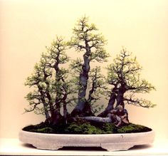 Bonsai: A arte de criar árvores em minatura                                                                                                                                                                                 Mais
