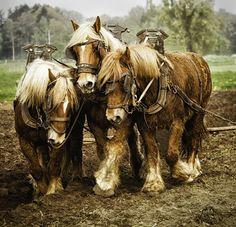 Belgian Draft Horses Gigi Embrechts