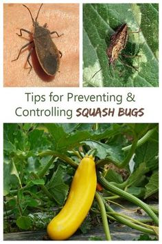 Easy and Proven Ways to Control Squash Bugs for Pest-free Gardens Control squash bugs in an organic way with these tips for prevention and control.Control squash bugs in an organic way with these tips for prevention and control. Garden Bugs, Garden Insects, Garden Pests, Garden Care, Potager Garden, Greenhouse Gardening, Indoor Gardening, Squash Plant, Squash Bugs