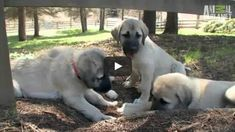 Anatolian Shepherd and Kangal – is it the same breed? Wonderful dogs that are becoming more popular in America. #anatolianshepherd #kangal #dogvideos