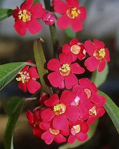 Scarlet Plume - Euphorbia fulgens - Calyx Flowers, Inc Calyx Flowers, Scarlet, Floral, Plants, Gifts, Earth, Growing Up, Nice, Feather