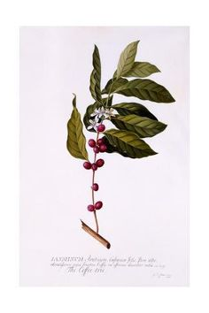 size: Giclee Print: The Coffee Tree, by Georg Dionysius Ehret : Coffee Illustration, Plant Illustration, Botanical Illustration, Coffee Tattoos, Coffee Plant, Botanical Art, Botanical Drawings, Find Art, Framed Artwork