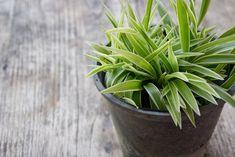 Chlorophytum comosum or spider plant