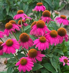 Echinacea 'PowWow Wild Berry'- full sun, 2-3ft tall, Blooms June-Aug, drought tolerant