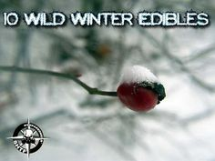 10 Wild Winter Edibles - SHTF Preparedness