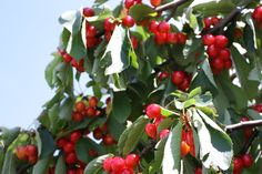 Cherries - Provence - http://www.provenceguide.co.uk/home/vaucluse-in-provence/food-and-wine.aspx